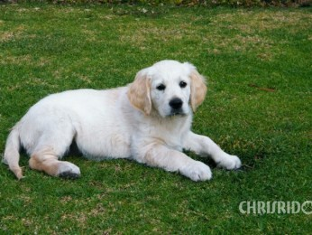 Adopted Golden Retriever Puppy Annie