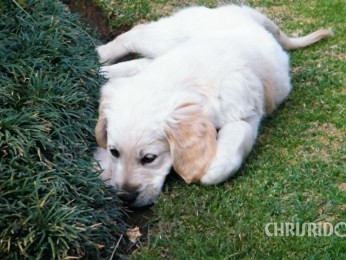 Adopted Golden Retriever Puppy from Chrisridogs Kennel South African Breeder of Golden Retrievers
