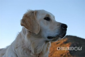 Female Golden Retriever Amy