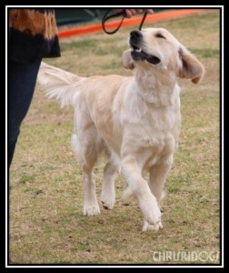 Female Golden Retriever Mieka