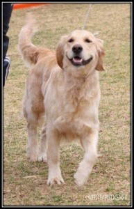 Female Golden Retriever Gemma