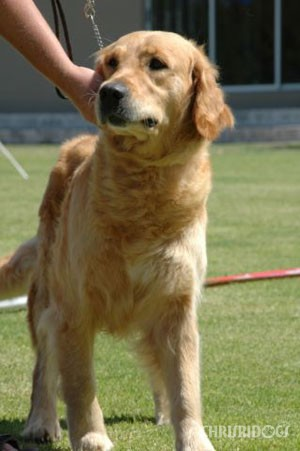 Female Golden Retriever Gucci