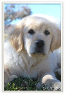 Female Golden Retriever Willow