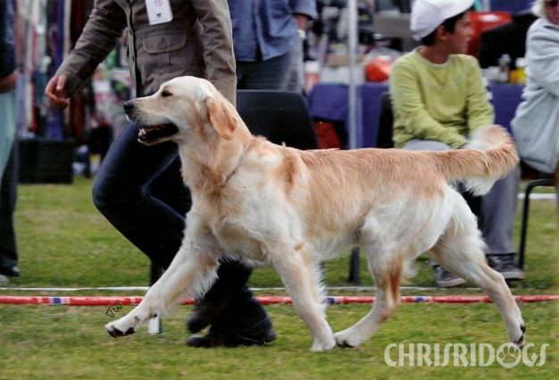 Rupert Male Golden Retriever from Chrisridogs
